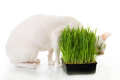 Cornish-rex's eating grass Royalty Free Stock Photos