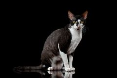 Cornish Rex Sits and Looking in Camera Isolated Royalty Free Stock Photography