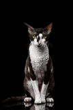 Cornish Rex Sits and Looking in Camera Royalty Free Stock Image