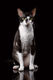 Cornish Rex Sits and Looking in Camera. Portrait of Cornish Rex Sits and Looking in Camera Isolated on Black Stock Image