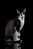 Cornish Rex Sits and Looking in Camera. Portrait of Cornish Rex Sits and Looking in Camera Isolated on Black Royalty Free Stock Image