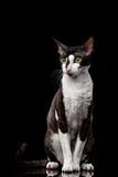 Cornish Rex Sits and Looking in Camera Royalty Free Stock Photos