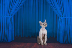 Cornish Rex on stage with blue curtain Stock Photo