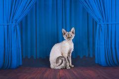 Cornish Rex on stage with blue curtain Royalty Free Stock Photos
