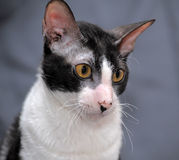 Cornish Rex Stock Photo