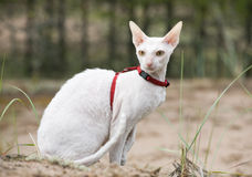 cornish rexwhite för katt Arkivfoto