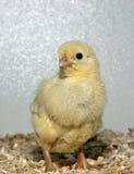Cornisk fågelunge Royaltyfri Foto