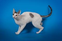 Cornisk rex för rolig katt på en blå studiobakgrund Arkivbilder