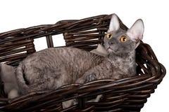 Cornisk Rex katt i en korg på en vit bakgrund Arkivfoto