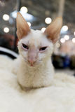 Cornisk Rex katt på den internationella utställningen Ketsburg i Moskva, Ryssland Arkivbild