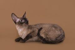Cornisk Rex katt som isoleras på en beige bakgrund Fotografering för Bildbyråer