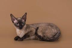 Cornisk Rex katt som isoleras på en beige bakgrund Arkivfoton