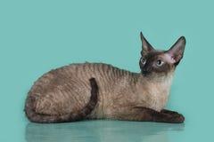 Cornisk Rex katt som isoleras på en blå bakgrund Arkivfoton