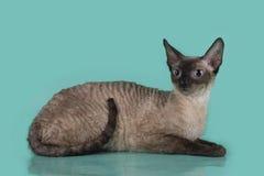 Cornisk Rex katt som isoleras på en blå bakgrund Royaltyfri Foto