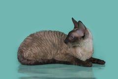 Cornisk Rex katt som isoleras på en blå bakgrund Arkivbilder