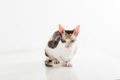 Cornisk Rex katt som ser kameran Vit bakgrund, studiofotofors Arkivbild