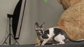 Cornisk Rex kattlek breckenridge lager videofilmer