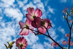 Corniso cor-de-rosa 3363 Fotos de Stock Royalty Free