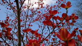 Corniso cor-de-rosa Imagem de Stock