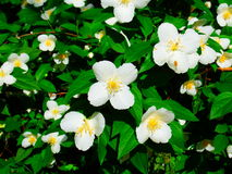 Corniso inglês na flor Imagens de Stock