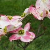 Corniso macro do rosa e o branco imagens de stock