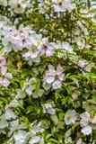 Cornisos brancos e cor-de-rosa Fotografia de Stock Royalty Free