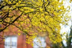 Cornisos de florescência no dia de mola bonito imagens de stock