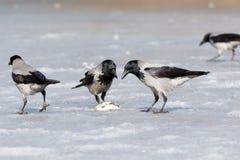 Cornix à capuchon de Corvus de corneille photo stock