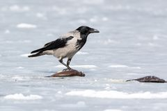 Cornix à capuchon de Corvus de corneille photographie stock libre de droits