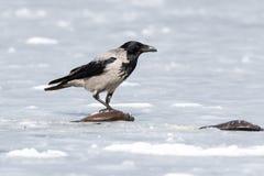 cornix κόρακας corvus με κουκούλα Στοκ φωτογραφία με δικαίωμα ελεύθερης χρήσης