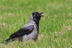 cornix κόρακας corvus με κουκούλα στοκ εικόνες με δικαίωμα ελεύθερης χρήσης