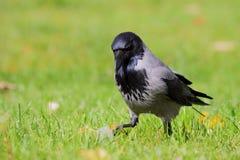 cornix κόρακας corvus με κουκούλα στοκ εικόνες
