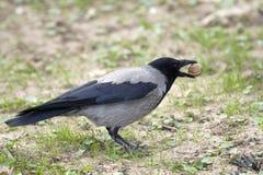 cornix κόρακας corvus corone με κουκούλ&a Στοκ Φωτογραφία