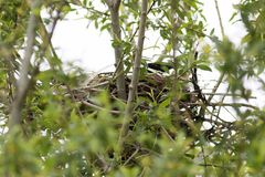 Cornix Corvus Гнездо с капюшоном вороны в природе Стоковые Изображения RF