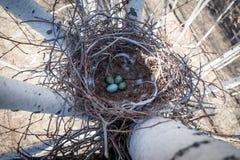Cornix Corvus Гнездо с капюшоном вороны в природе Стоковое Фото