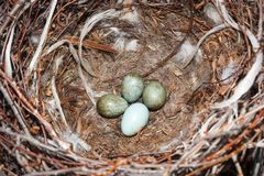 Cornix Corvus Гнездо с капюшоном вороны в природе Стоковое Изображение