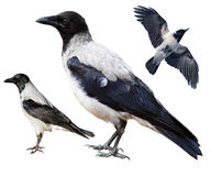 Cornix del Corvus, cuervo encapuchado Imágenes de archivo libres de regalías