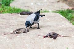 Cornix del Corvus, cuervo encapuchado Imagenes de archivo