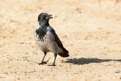 Cornix del Corvus, cuervo encapuchado Imagen de archivo