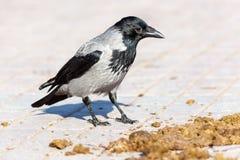 Cornix del Corvus, cuervo encapuchado Fotos de archivo