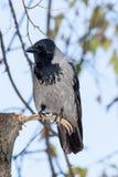Cornix del Corvus, cuervo encapuchado Fotografía de archivo libre de regalías