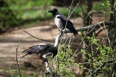 """Cornix encapuçado do Corvus do corvo O corvo encapuçado, corvo cinzento ou  do """"hoodie†fotos de stock royalty free"""
