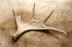 Corno dei cervi di Antler immagini stock libere da diritti