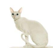 - Cornouaillais - Rex blanc avec e bleu image stock