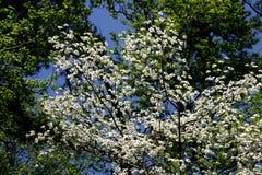 Cornouiller blanc et ciel bleu Image libre de droits
