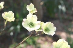 Cornouiller de floraison au printemps Image libre de droits
