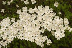 Cornouiller en fleur Photographie stock libre de droits