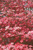 Cornouiller fleurissant dans la fleur image stock