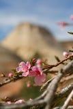 Cornouiller fleurissant en Zion National Park image libre de droits