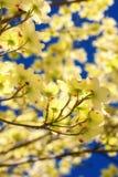 Cornouiller fleurissant oriental images libres de droits